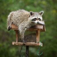 Raccoon on Bird Feeder